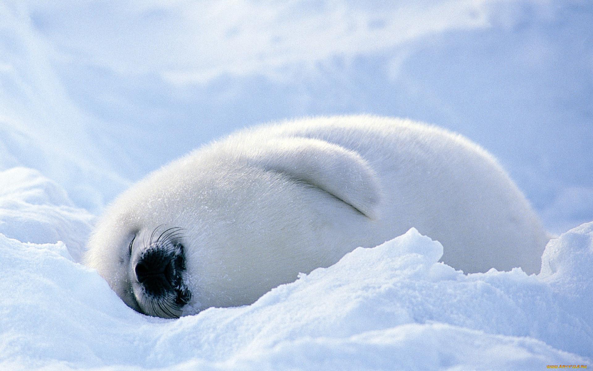 кожа фото гренландского тюленя таком подарке чувствуется